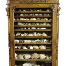 A Victorian walnut collectors display cabinet, containing a large collection of seashells, c1870